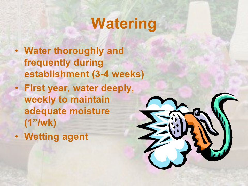 Watering Water thoroughly and frequently during establishment (3-4 weeks) First year, water deeply, weekly to maintain adequate moisture (1 /wk)
