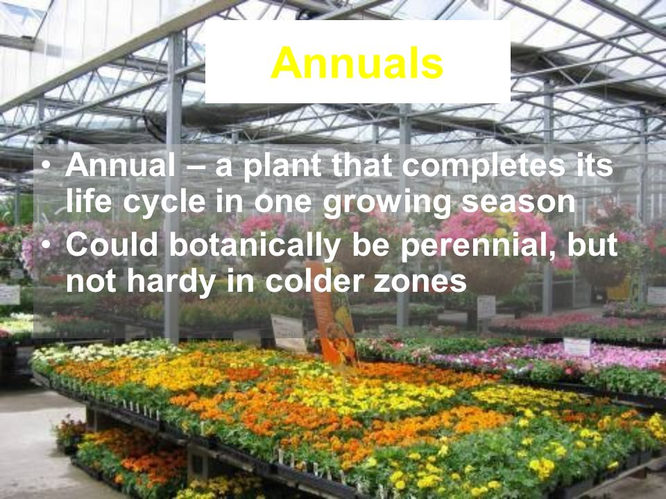Annuals Annual – a plant that completes its life cycle in one growing season.