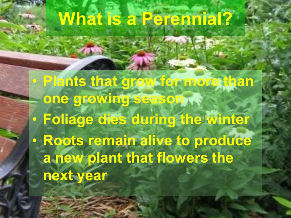 What is a Perennial Plants that grow for more than one growing season