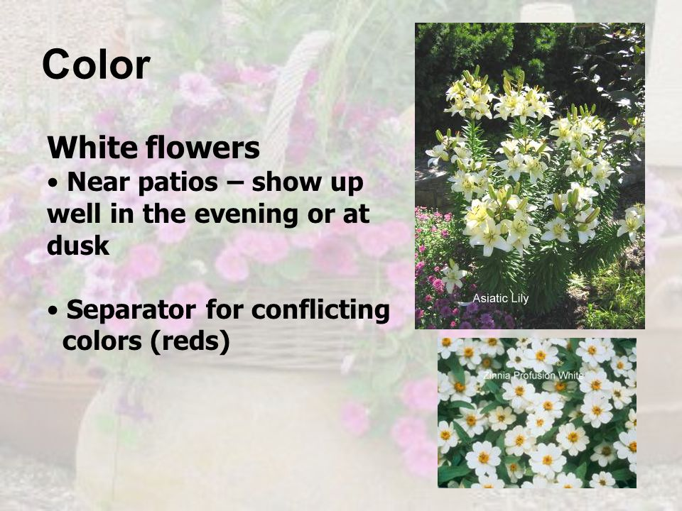 Color White flowers. Near patios – show up well in the evening or at dusk. Separator for conflicting.