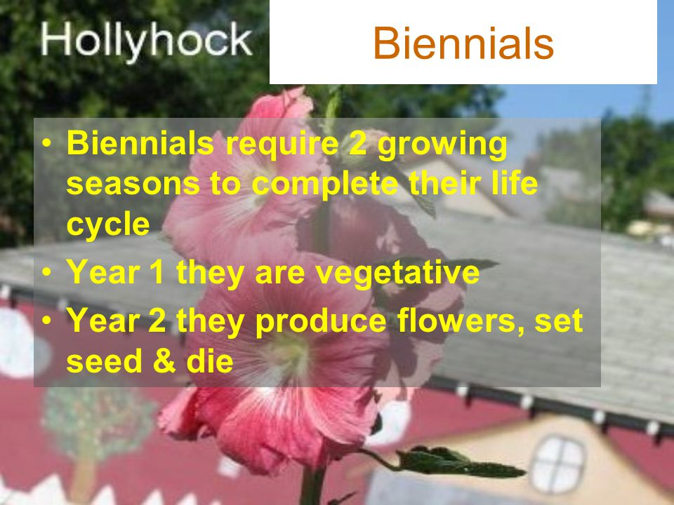 Biennials Biennials require 2 growing seasons to complete their life cycle. Year 1 they are vegetative.
