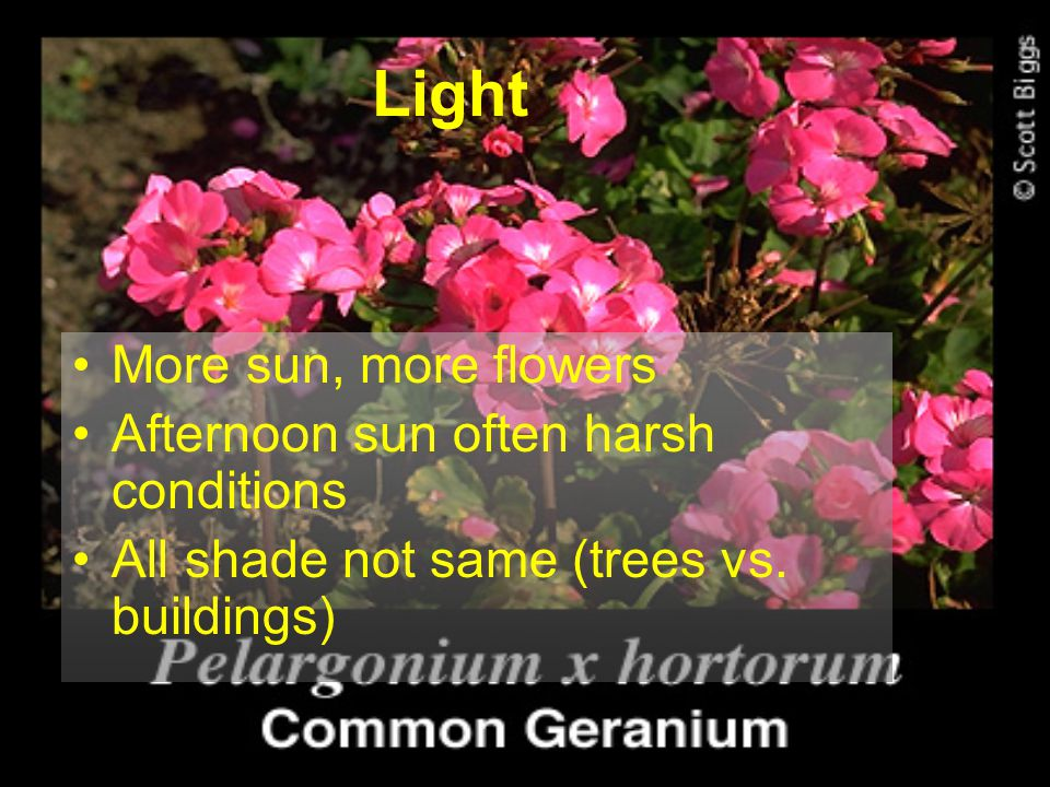 Light More sun, more flowers Afternoon sun often harsh conditions