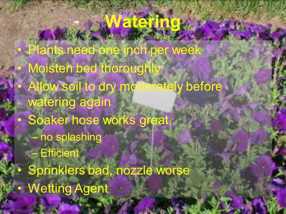 Watering Plants need one inch per week Moisten bed thoroughly