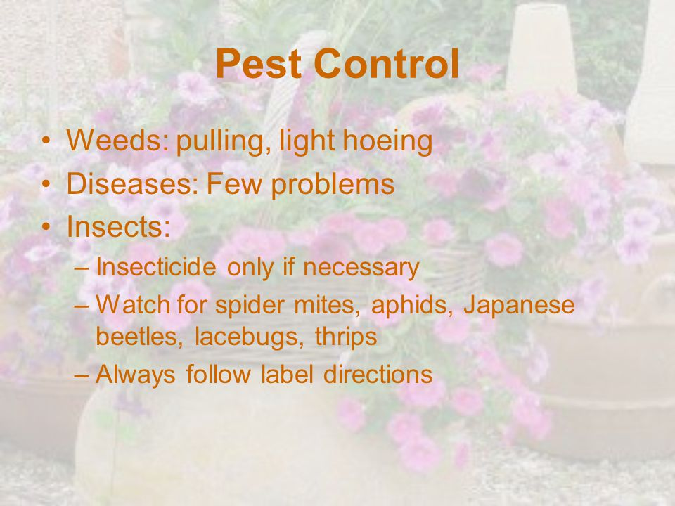 Pest Control Weeds: pulling, light hoeing Diseases: Few problems
