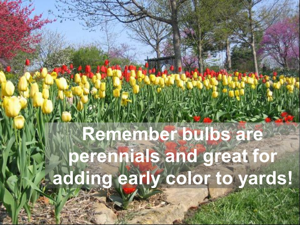 Remember bulbs are perennials and great for adding early color to yards!