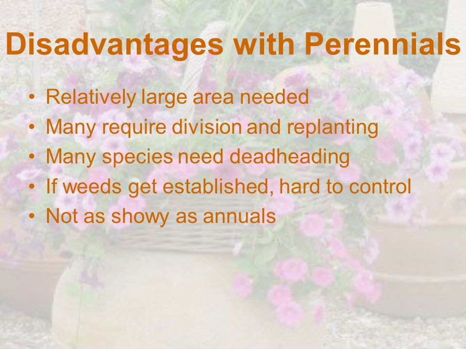 Disadvantages with Perennials