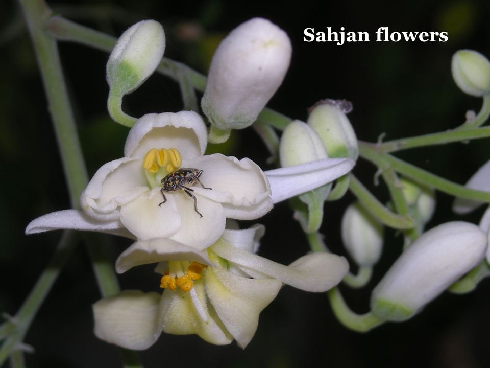 Sahjan flowers
