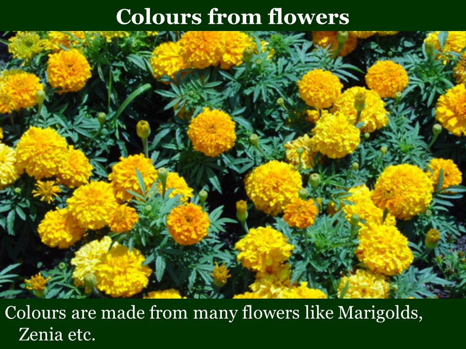 Colours from flowers Colours are made from many flowers like Marigolds, Zenia etc.