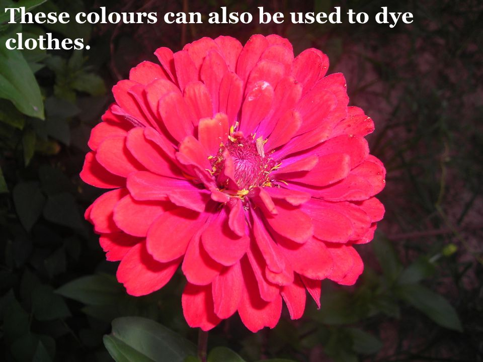 These colours can also be used to dye clothes.