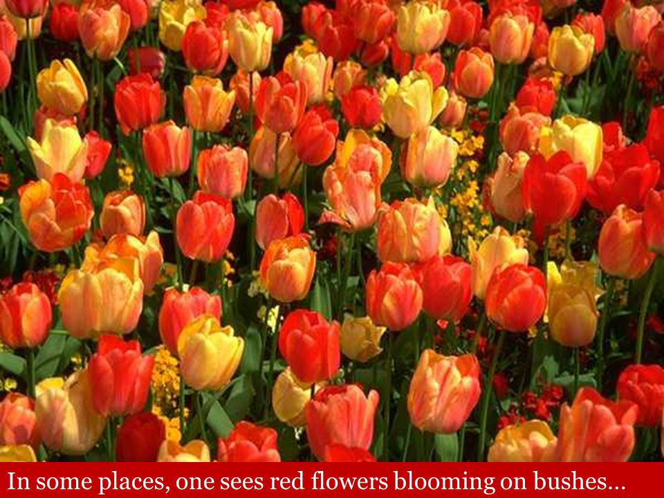 In some places, one sees red flowers blooming on bushes…