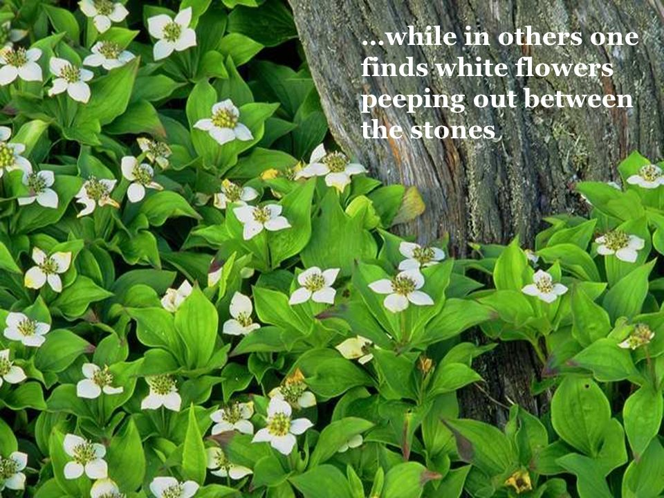 …while in others one finds white flowers peeping out between the stones