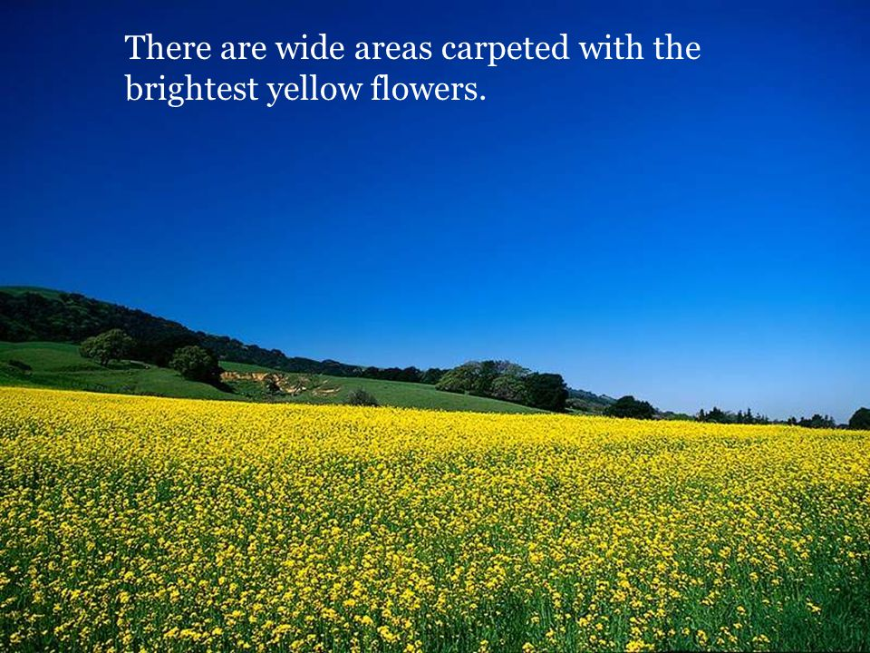 There are wide areas carpeted with the brightest yellow flowers.