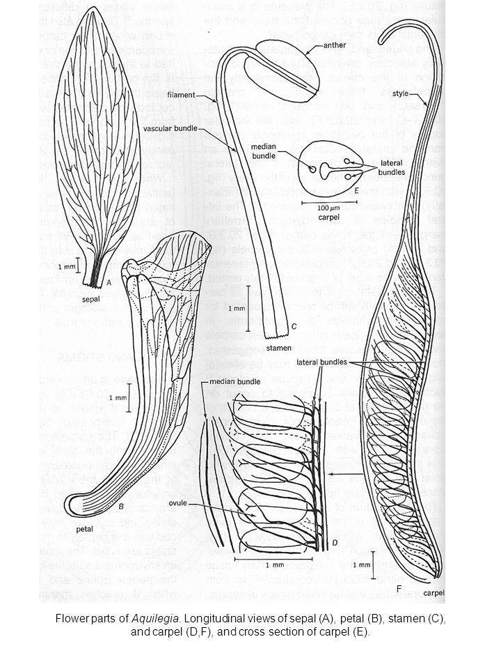 F Flower parts of Aquilegia.