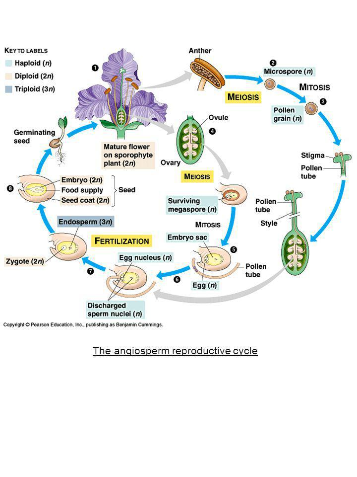 The angiosperm reproductive cycle