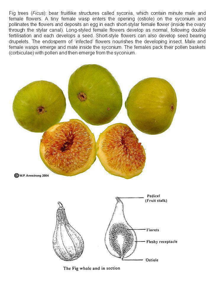Fig trees (Ficus): bear fruitlike structures called syconia, which contain minute male and female flowers.