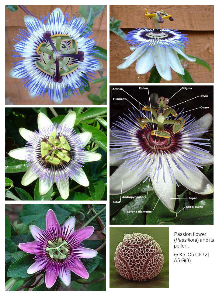 Passion flower (Passiflora) and its pollen.