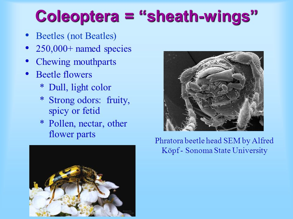 Coleoptera = sheath-wings