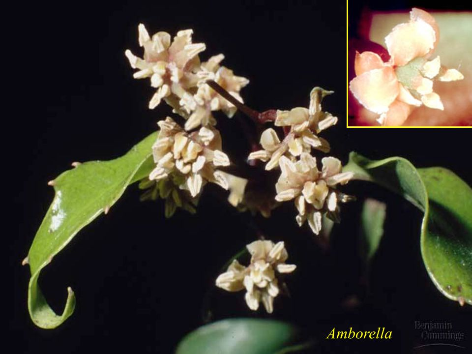 A basal group Angiosperm – This plant is likely beetle pollinated