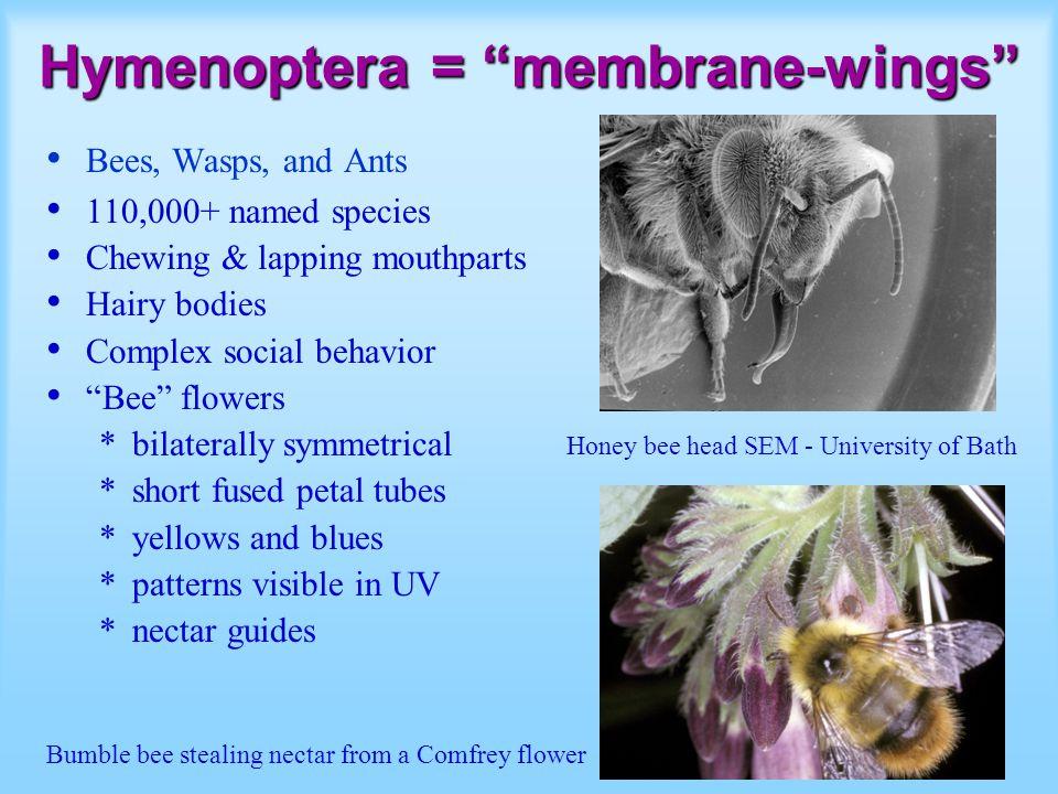 Hymenoptera = membrane-wings