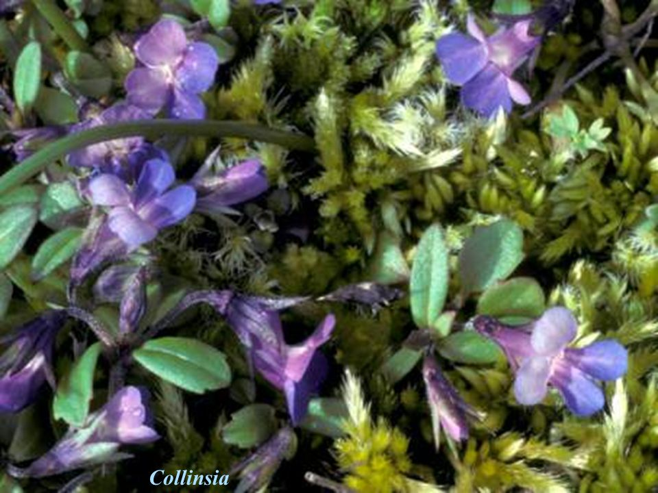 Collinsia Collinsia = Blue-eyed Mary Hymenoptera flowers
