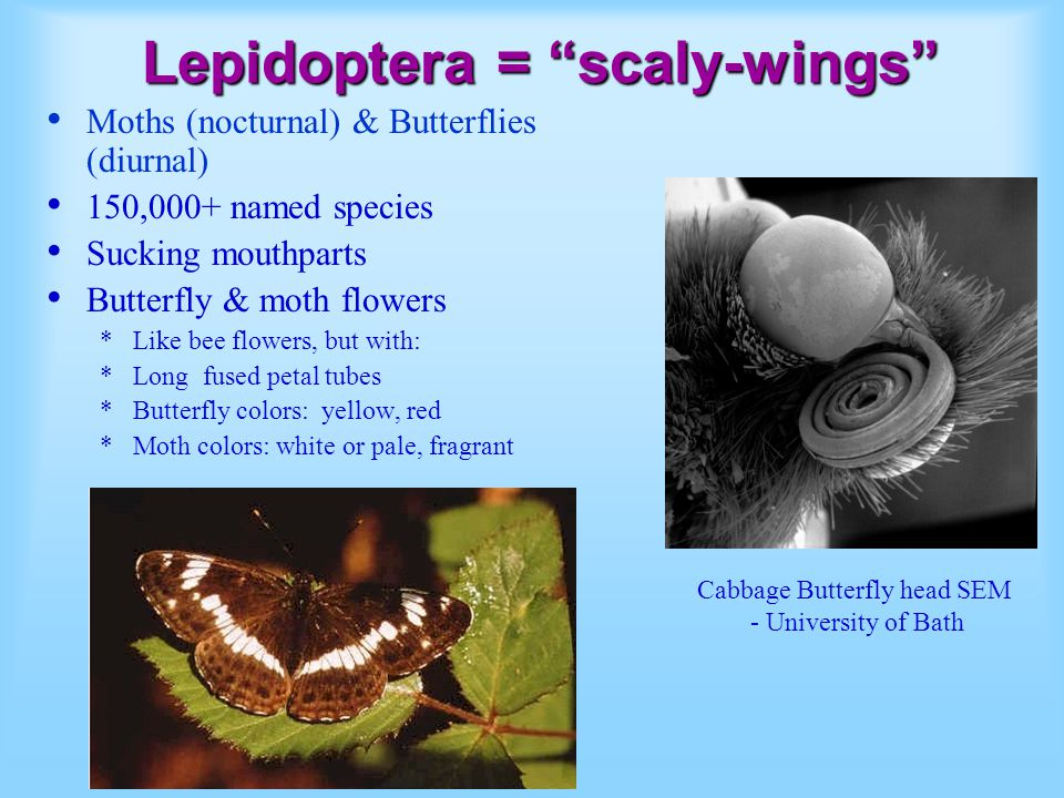 Lepidoptera = scaly-wings