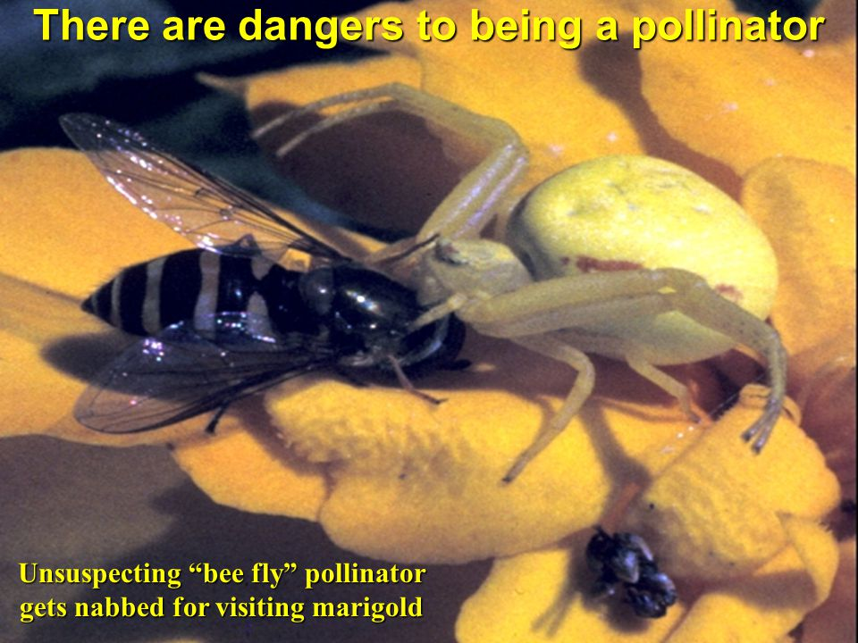 There are dangers to being a pollinator