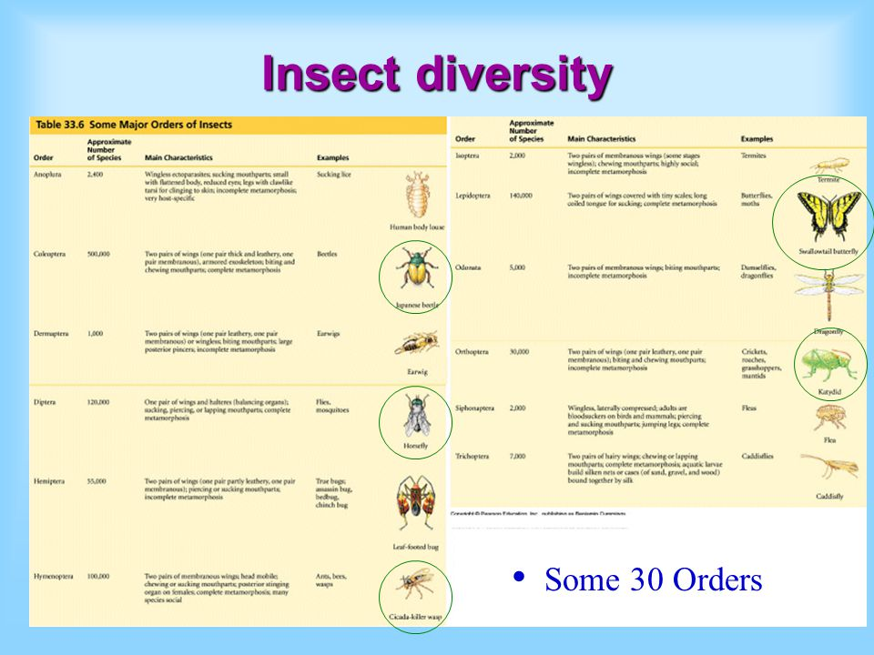 Insect diversity Some 30 Orders
