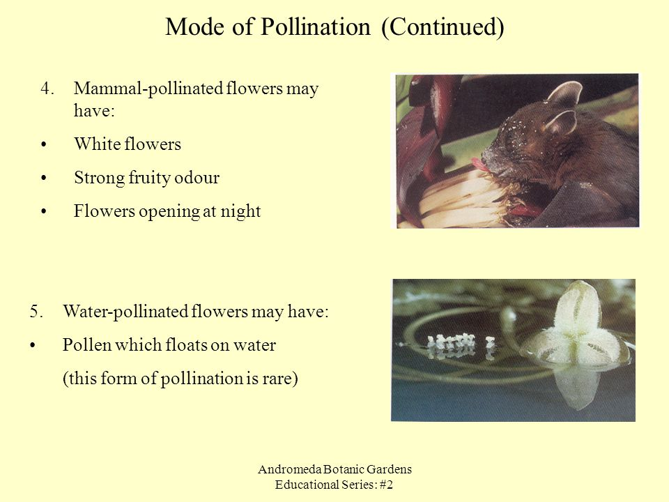 Mode of Pollination (Continued)