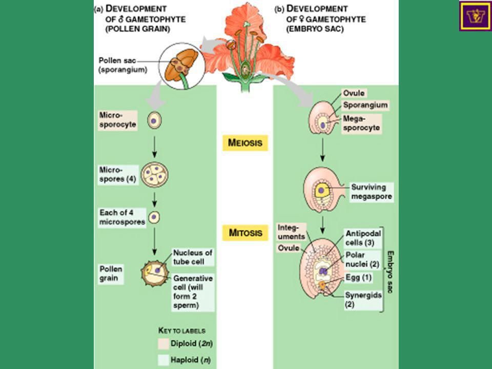 Development of gametophytes