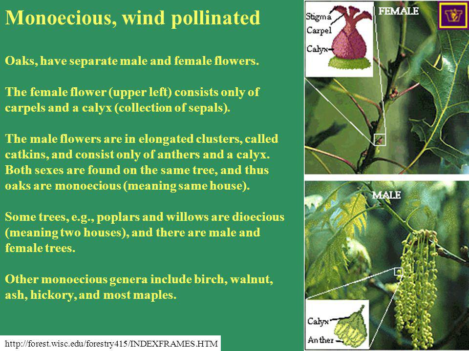 Monoecious, wind pollinated