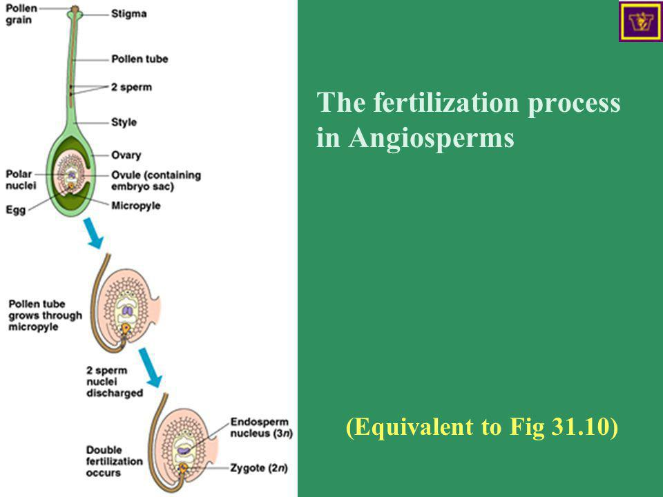 The fertilization process in Angiosperms
