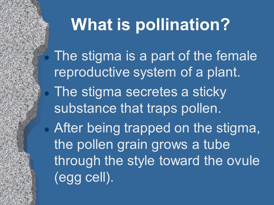 What is pollination The stigma is a part of the female reproductive system of a plant. The stigma secretes a sticky substance that traps pollen.