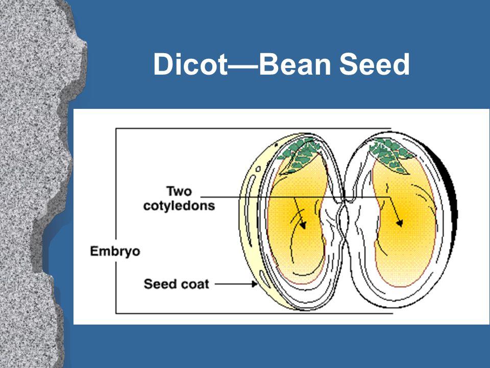 Dicot—Bean Seed