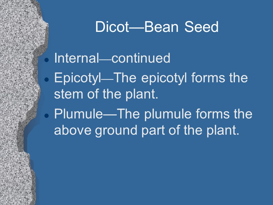 Dicot—Bean Seed Internal—continued