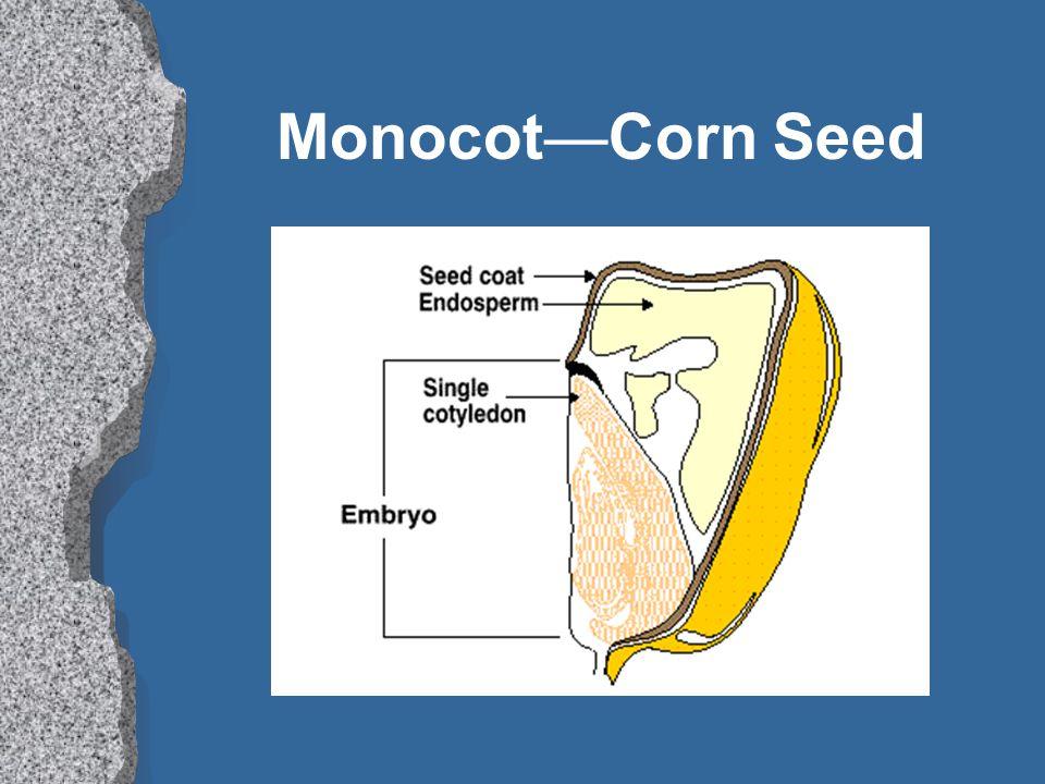Monocot—Corn Seed