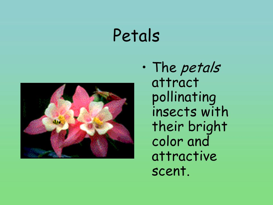 Petals The petals attract pollinating insects with their bright color and attractive scent.
