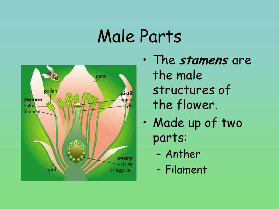 Male Parts The stamens are the male structures of the flower.