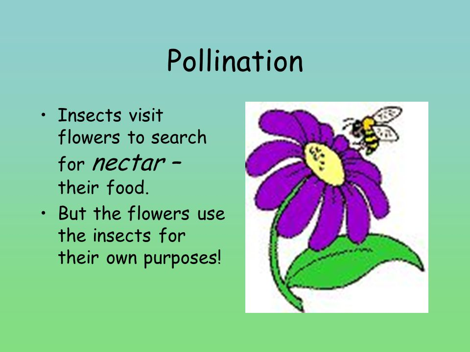 Pollination Insects visit flowers to search for nectar – their food.