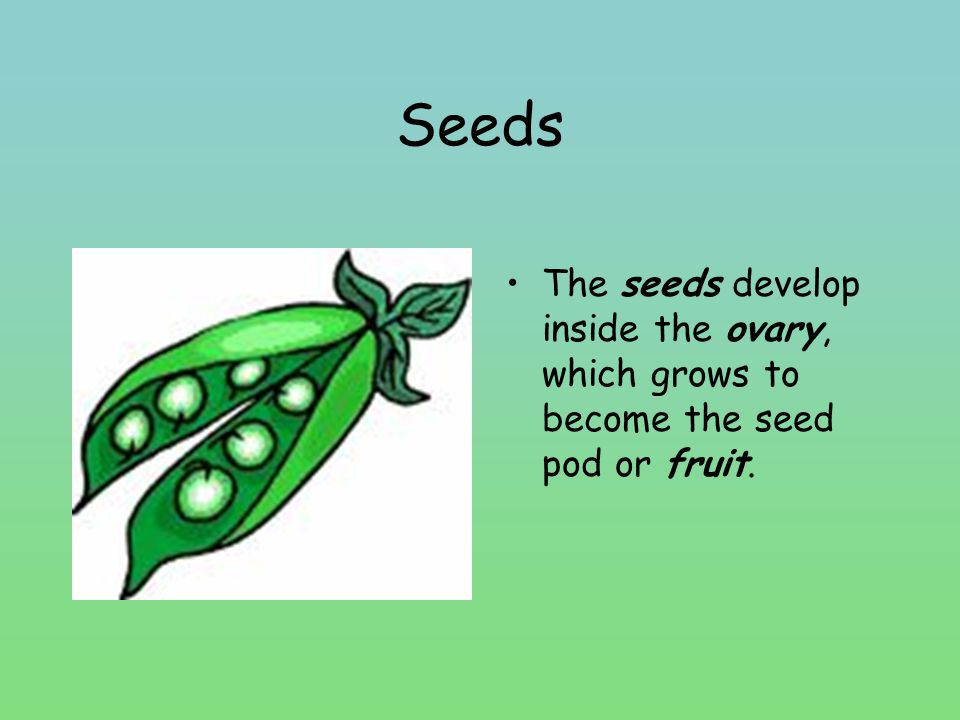 Seeds The seeds develop inside the ovary, which grows to become the seed pod or fruit.