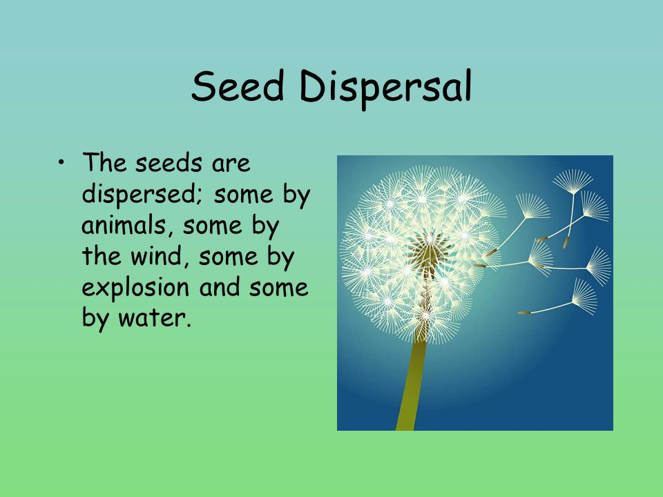 Seed Dispersal The seeds are dispersed; some by animals, some by the wind, some by explosion and some by water.