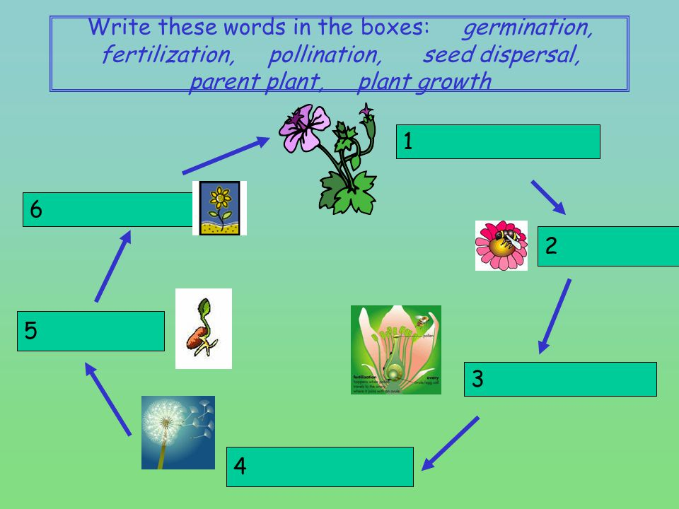 Write these words in the boxes: germination, fertilization, pollination, seed dispersal, parent plant, plant growth