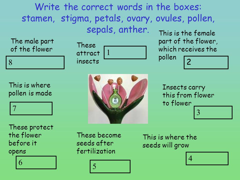 Write the correct words in the boxes: stamen, stigma, petals, ovary, ovules, pollen, sepals, anther.