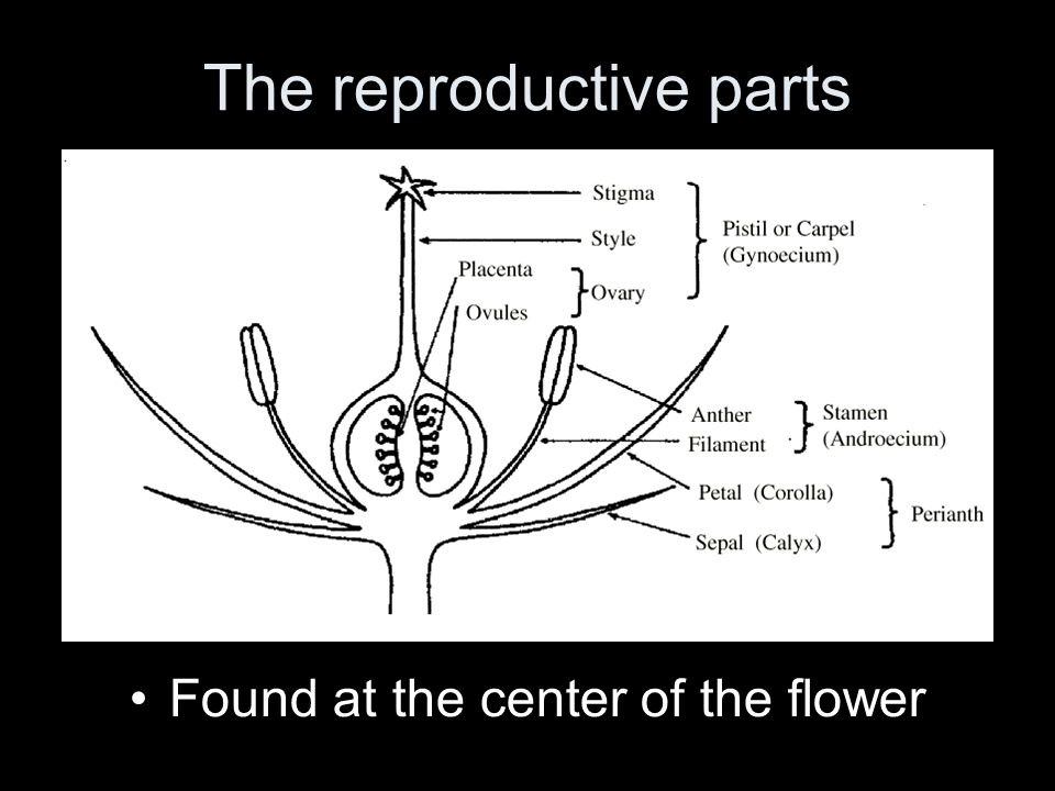 The reproductive parts