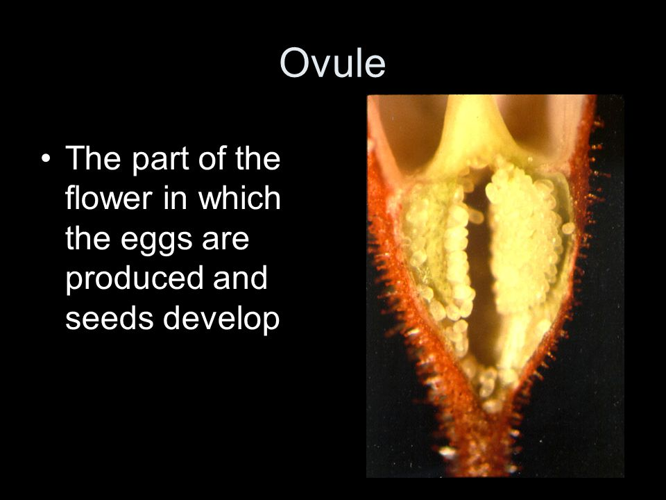 Ovule The part of the flower in which the eggs are produced and seeds develop