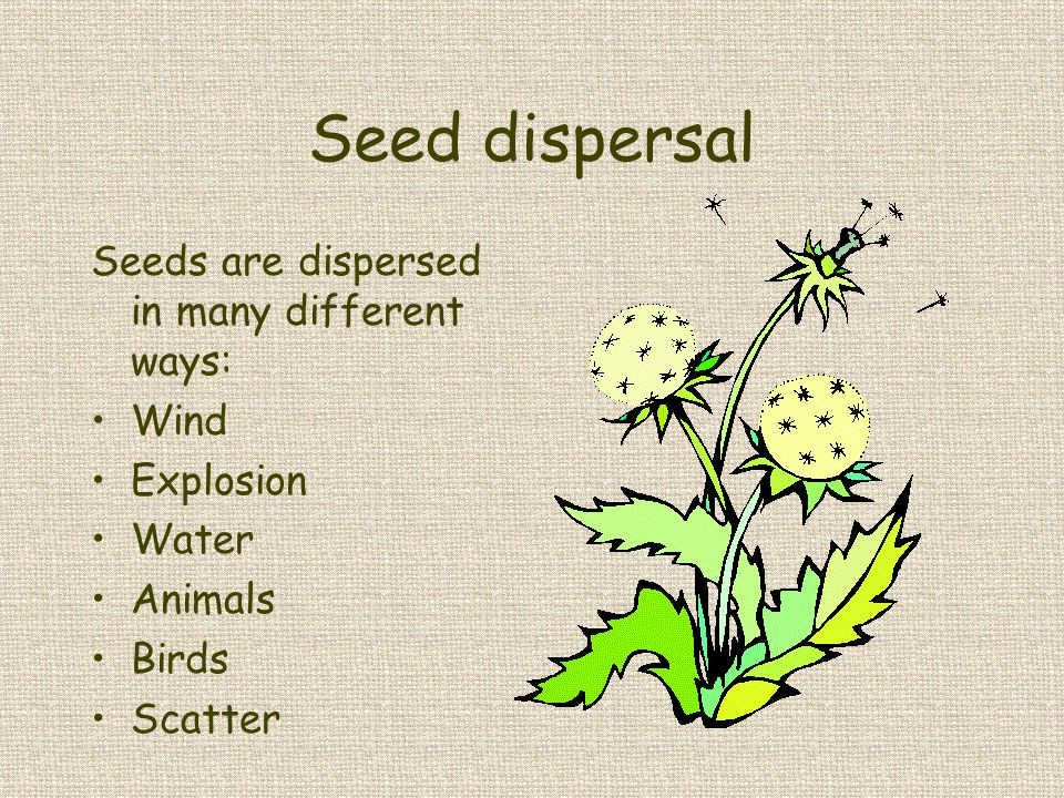 Seed dispersal Seeds are dispersed in many different ways: Wind