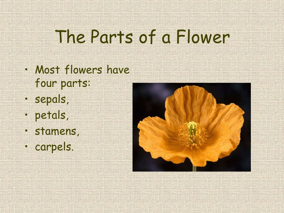 The Parts of a Flower Most flowers have four parts: sepals, petals,