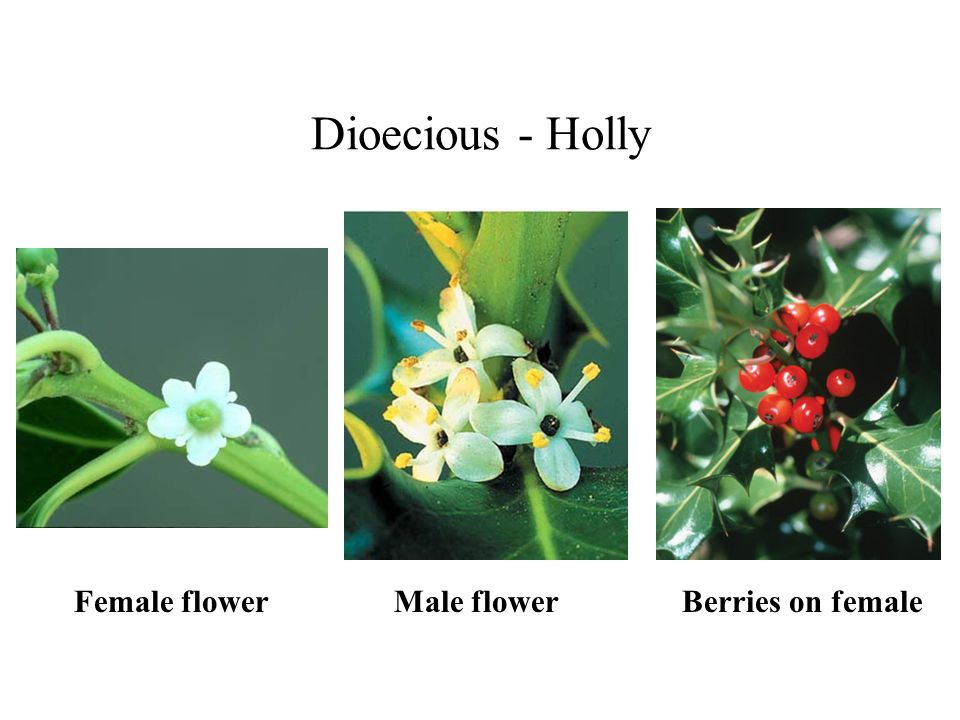 Dioecious - Holly Female flower Male flower Berries on female