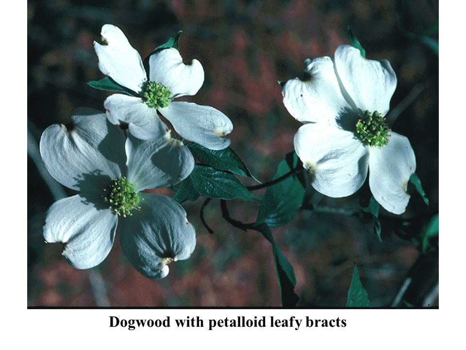 Dogwood with petalloid leafy bracts
