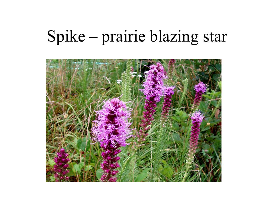 Spike – prairie blazing star