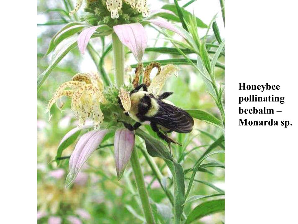 Honeybee pollinating beebalm – Monarda sp.